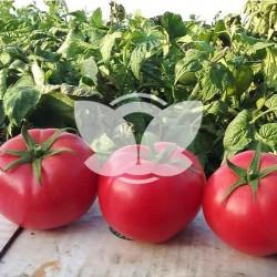 pomidor_hapynet_syngenta_nasiona.jpg