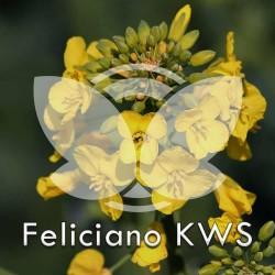 rzepak-feliciano-kws-f1.jpg