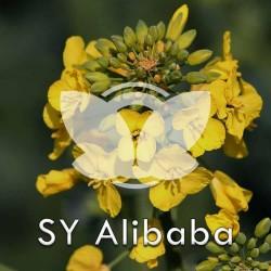 RZEPAK-sy-alibaba.jpg
