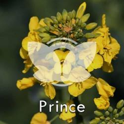 RZEPAK-prince.jpg