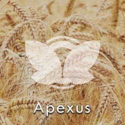 pszenicaoscista-apexus.jpg