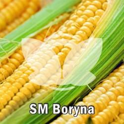kukurydza_sm_boryna_hr_smolice.jpg