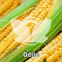 kukurydza_odilo.jpg